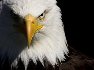 águila frente
