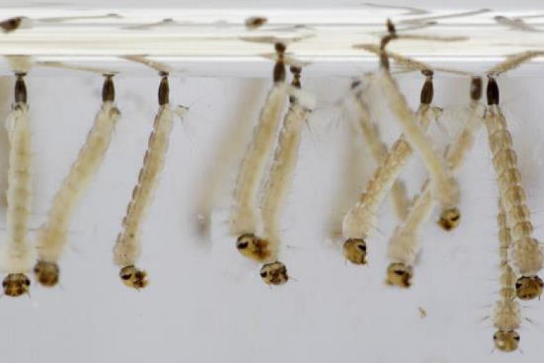 Combatir a las larvas, tan importante como a los mosquitos.